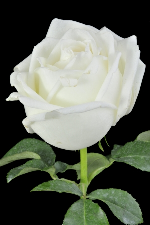 White roses isolated on Black Background Stock Photo - 15219243