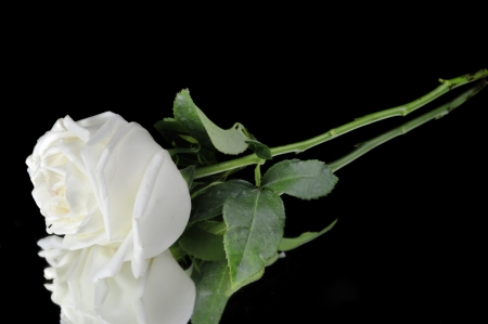 White roses isolated on Black Background Stock Photo - 15219293
