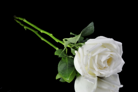 White roses isolated on Black Background Stock Photo - 15219240