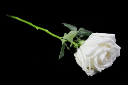 White roses isolated on Black Background Stock Photo - 15219233