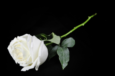White roses isolated on Black Background