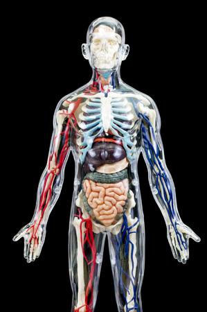 pene: Un esqueleto humano masculino con órganos internos aislados en vista de negro background.front Foto de archivo