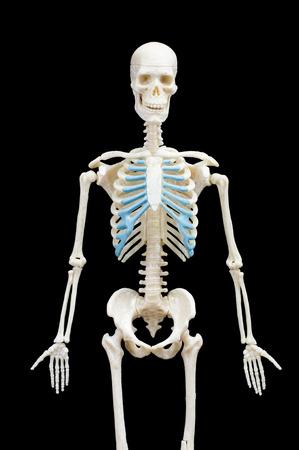 Half-length portrait of human skeleton isolated on black background.front view Banco de Imagens