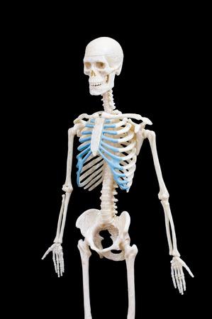 Half-length portrait of human skeleton isolated on black background. Banco de Imagens