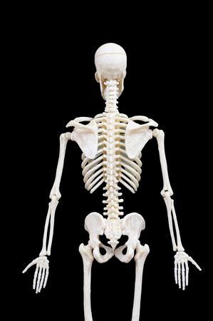 Half-length portrait of human skeleton isolated on black background.back view Banco de Imagens