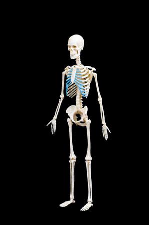 Full length portrait of human skeleton isolated on black background. Banco de Imagens