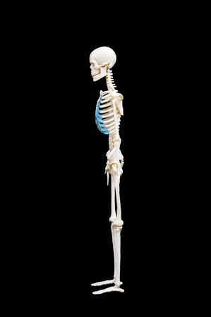 Full length portrait of human skeleton isolated on black background.side view Banco de Imagens