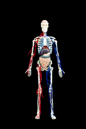 A male human skeleton with internal organs isolated on black background.front view Banco de Imagens