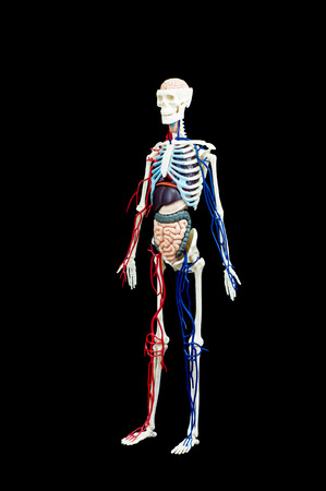 gullet: A male human skeleton with internal organs isolated on black background. Stock Photo