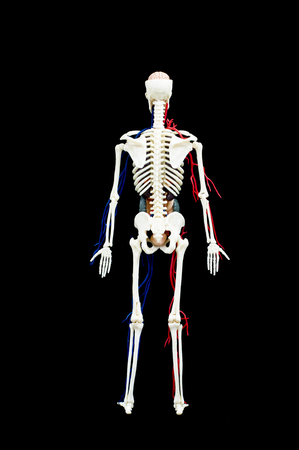 A male human skeleton with internal organs isolated on black background.back view Banco de Imagens - 52854265