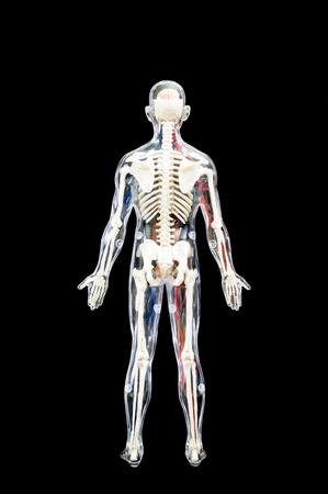 Ein Männlicher Menschliches Skelett Mit Inneren Organen Auf ...