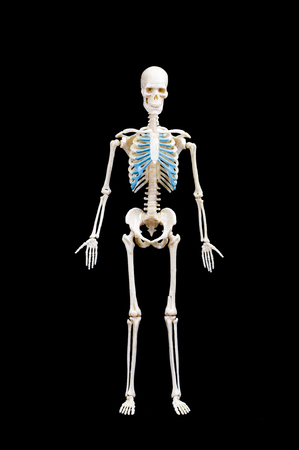 Full length portrait of human skeleton isolated on black background.front view Banco de Imagens