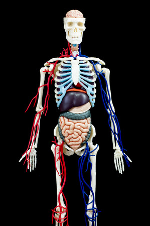gullet: A male human skeleton with internal organs isolated on black background.front view Stock Photo