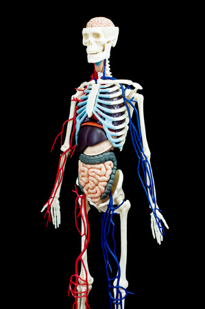 A male human skeleton with internal organs isolated on black background. Banco de Imagens