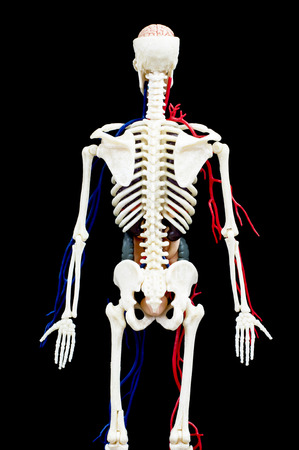 A male human skeleton with internal organs isolated on black background.back view