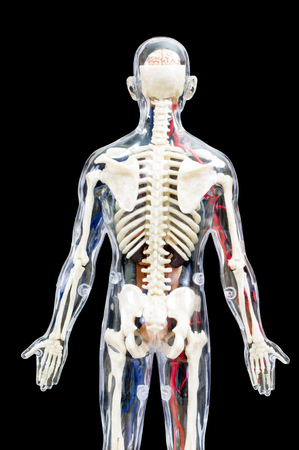 gullet: A male human skeleton with internal organs isolated on black background.back view