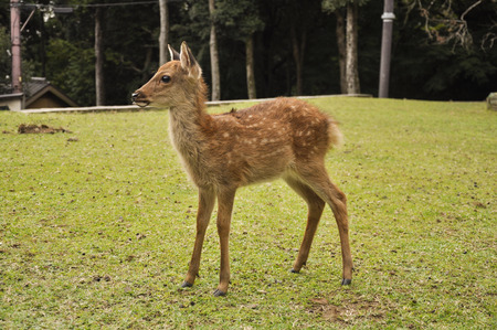 Fawn standing on green glass at Nara Japan Banco de Imagens - 57260425