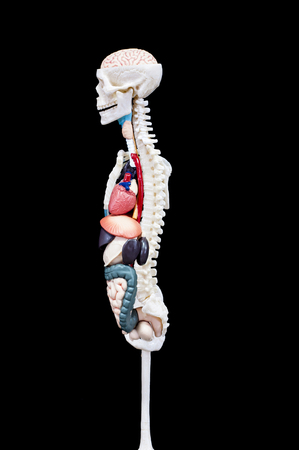 Section of human skeleton with internal organs isolated on black background.