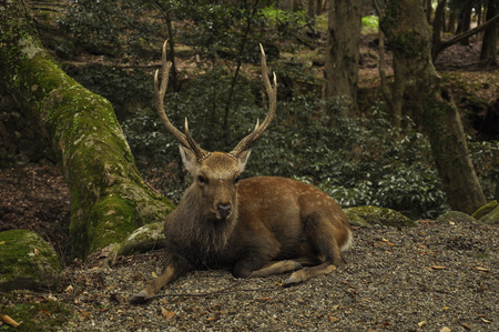 Deer with beautiful horns sitting in the forest at Nara Japan Banco de Imagens