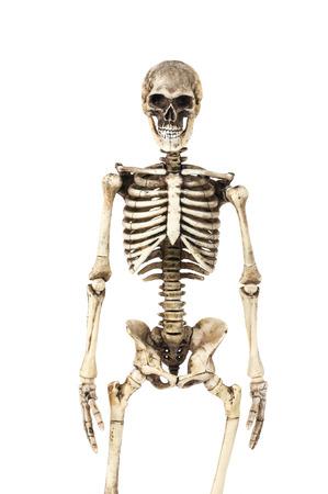 halloween skeleton: Half-length portrait of human skeleton isolated on white background.(front view) Stock Photo