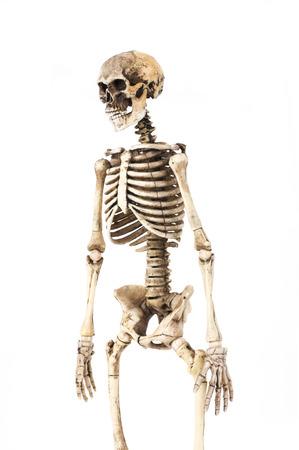 Half-length portrait of human skeleton isolated on white background.