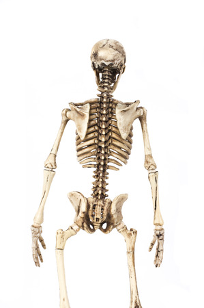 Half-length portrait of human skeleton isolated on white background.(back view) Banco de Imagens
