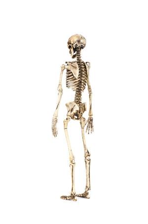 Full length portrait of human skeleton isolated on white background.