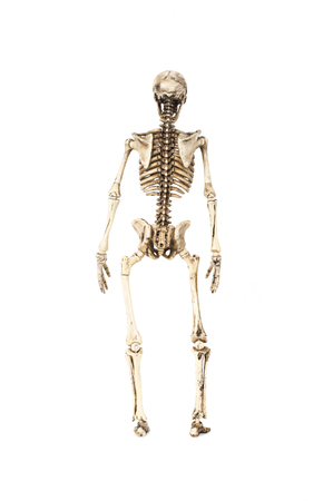 Full length portrait of human skeleton isolated on white background.(back view)
