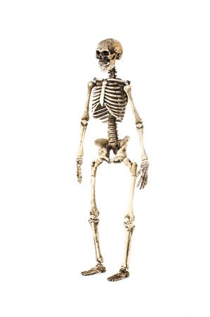 In Voller Länge Portrait Des Menschlichen Skeletts Auf Weißem ...