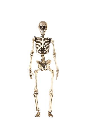 Full length portrait of human skeleton isolated on white background.(front view)