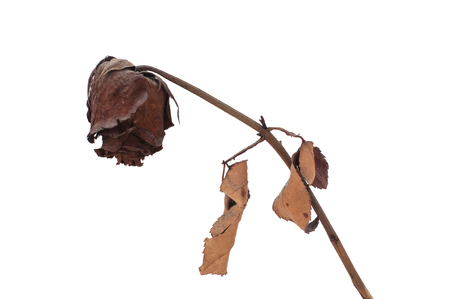 Dried rose on white background. Banco de Imagens - 57260515