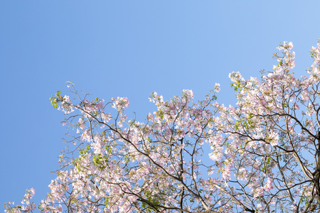 Blue skies and pink blossoms in Thailand Imagens