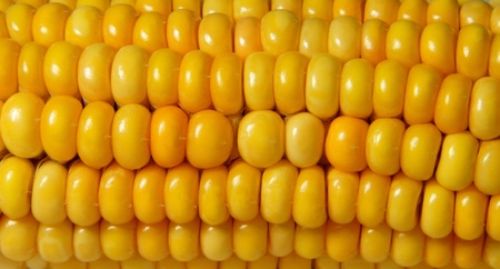 Closeup of juicy, bright yellow corn - Nahaufnahme von saftig, gl�nzend gelbem Mais photo