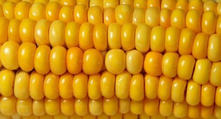 mais: Closeup of juicy, bright yellow corn - Nahaufnahme von saftig, gl�nzend gelbem Mais