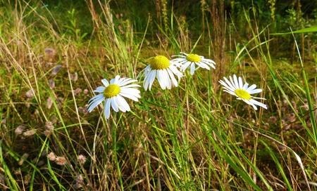 blumen: Three daisies on a summer meadow - Drei Margeriten auf einer sommerlichen Wiese
