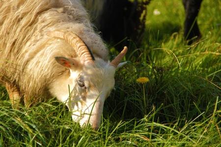 ber: a flock of sheep going through green meadows towards the sun - eine schafherde geht �ber gr�ne wiesen in richtung sonne Stock Photo