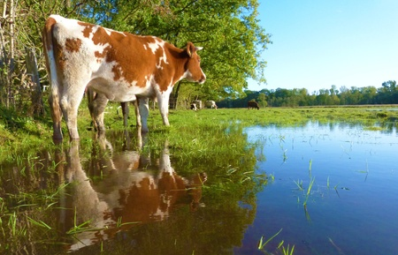 flooded meadow with cows lost at fantastic weather - ãœberschwemmte area with kitchen hen lost in the fantastic weather Stock Photo