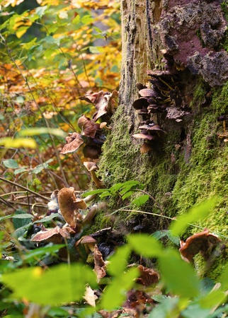 population growth: a colony of fungi inhabit a mossy tree - a colony of fungi � population growth lkern a mossy tree Stock Photo