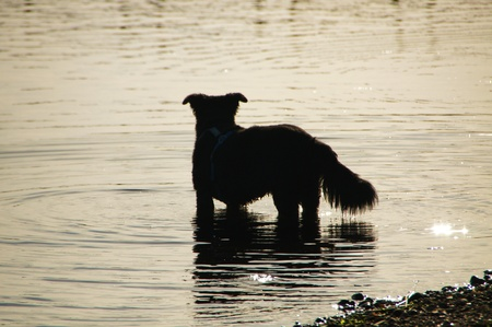 black dog taking an evening dip in the traveling at sunset - black dog for an evening swim in the trave at sunset photo