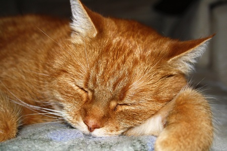 rote: Sleeping red housecat - schlafende rote Hauskatze