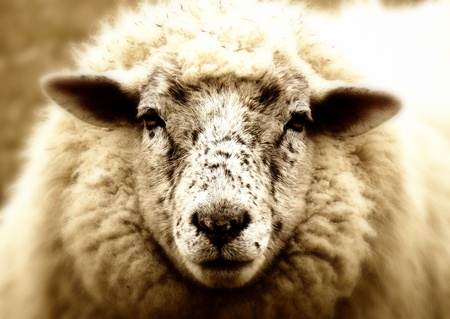 An old sheep look stupid out of the laundry Standard-Bild