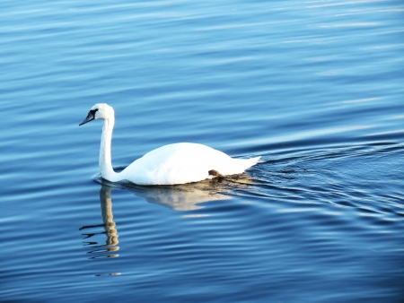 spiegelung: White swan swimming on the clear Stock Photo