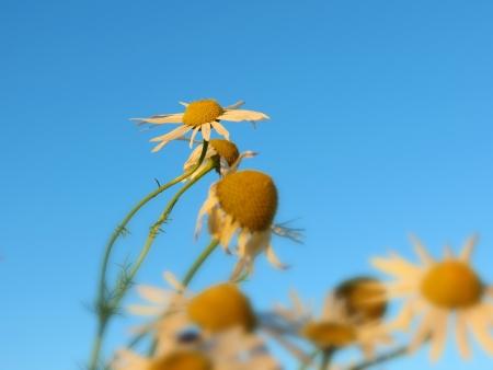 blumen: Pushing Daisies again