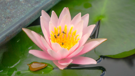 bee on flower: lotus flower and bee inside Stock Photo