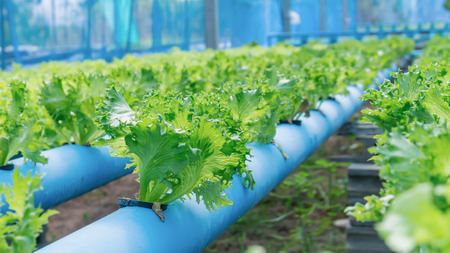 cultivation: Organic hydroponic vegetable cultivation farm