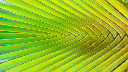 bases: Stalk leaf of bases on a Travelers Palm or Ravenala madagascariensis in the garden. (on background)