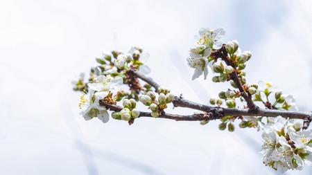 japanese garden: Spring Cherry Blossom Sakura flower
