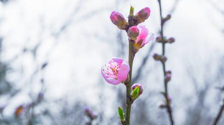 fleur de cerisier: Spring Cherry Blossom Sakura fleur Banque d'images