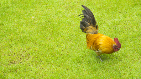 In grazing chicken is standing on the green grass background Stock Photo