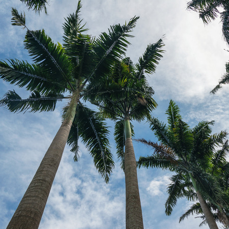 caribbean climate: Palm trees against blue sky, view from below